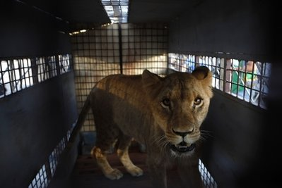 A lioness stands in a cage before being transported by plane to the U.S. at the airport in Santa Cruz de la Sierra, Bolivia, Wednesday Feb. 16, 2011. Twenty-five lions rescued in Bolivia from what animal welfare advocates say were miserable conditions, mostly in circuses, are bound for a wildlife refuge in Colorado. A law took effect in Bolivia in 2010 prohibiting all animal performances. (AP Photo/Juan Karita)